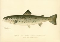 Female Land Locked Salmon Fine Art Print