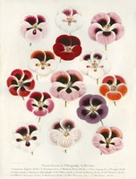 Geranium Varieties Fine Art Print