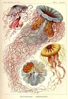 Jellyfish, Discomedusae Fine Art Print