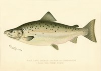 Male Land Locked Salmon Fine Art Print