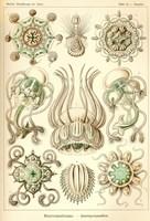 Narcomedusae - Scheiben-Strahlinge - Heliodiscus Fine Art Print