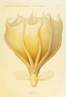 Octopus - Die Cephalopod - 1915 - Plate 92 Fine Art Print