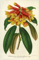 Orange Yellow Rhododendron Fine Art Print