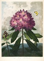 The Pontic Rhododendron Fine Art Print
