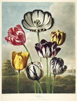 Tulips from the The Temple of Flora Fine Art Print