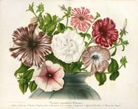 Varietes Nouvelles de Petunias Fine Art Print