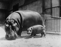 Adult and Baby Hippopotamus Fine Art Print