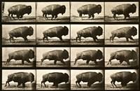 Buffalo Running, Animal Locomotion Plate 700 Fine Art Print