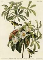 Bachmans Warbler Fine Art Print