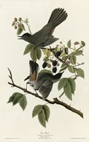 Catbird Fine Art Print
