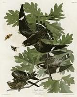 Night Hawk Fine Art Print