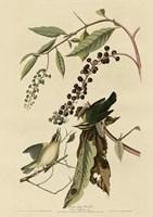 Worm Eating Warbler Fine Art Print