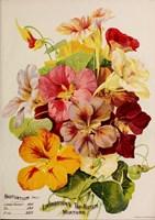 Nasturtium Fine Art Print