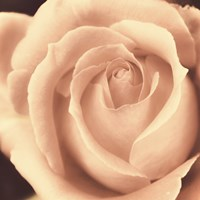 Peach Rose Fine Art Print