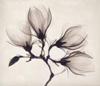 Whisper Magnolia Fine Art Print