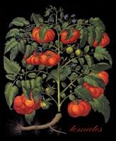 Tomates Fine Art Print