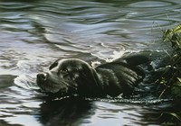 Black Lab Swimming Fine Art Print