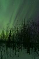 Aurora Borealis over Trees Fine Art Print