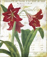 Peppermint Amaryllis Framed Print