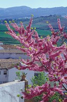 Flowering Cherry Tree and Whitewashed Buildings, Ronda, Spain Fine Art Print