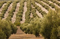 Olive Groves, Jaen, Spain Fine Art Print