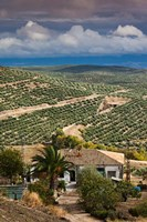 Olive Groves, Ubeda, Spain Fine Art Print
