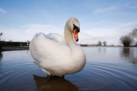 Mute Swan (Cygnus olor) on flooded field, England Fine Art Print
