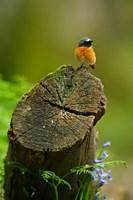 Redstart bird, Forest of Dean, Gloucestershire, UK Fine Art Print