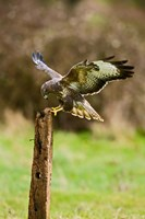 UK, Common Buzzard bird on wooden post Fine Art Print