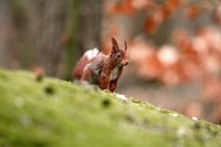 UK, England Red Squirrel Fine Art Print