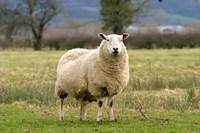 UK, England, Cotswold Sheep farm animal Fine Art Print