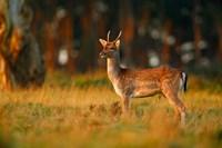 UK, Forest of Dean, Fallow Deer Fine Art Print