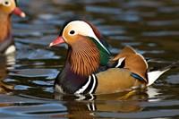 UK, Mandarin Duck wildlife Fine Art Print