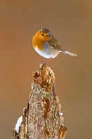 UK, Robin bird on tree stump, Winter Fine Art Print