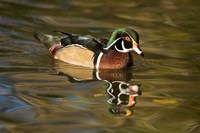 USA Carolina or Wood Duck, reflected in a Pond Fine Art Print