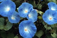 Morning Glory Fine Art Print
