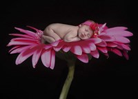 Sundstom Lacey Hot Pink Gerber Framed Print