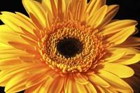 Gerbera Flower Fine Art Print
