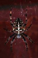 Garden Spider Fine Art Print