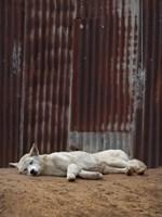 White Dingo Fine Art Print