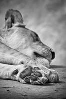 The Lions Paw Fine Art Print