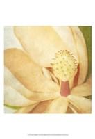 Vintage Magnolia II Framed Print