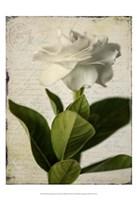 Gardenia Grunge I Fine Art Print