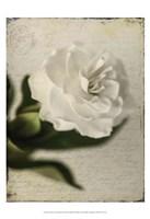 Gardenia Grunge II Fine Art Print
