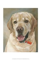 Captain Yellow Lab Fine Art Print