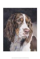Lizzie Springer Spaniel Fine Art Print