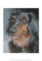 Bongo Long-haired Dachshund Fine Art Print