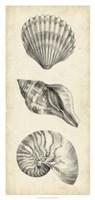 Antique Shell Study Panel I Framed Print