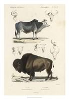 Antique Cow & Bison Study Fine Art Print