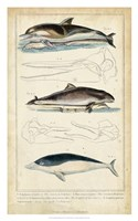 Antique Whale & Dolphin Study II Fine Art Print